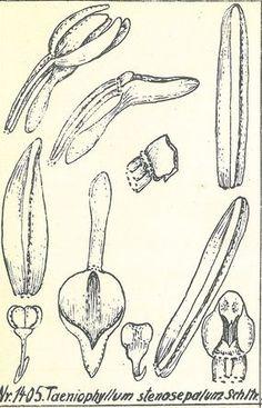 Taeniophyllum stenosepalum