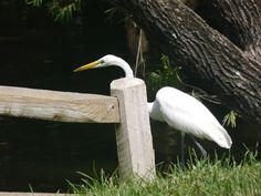 Great egret at George C. McGough park. Panasonic G5, 200 mm.