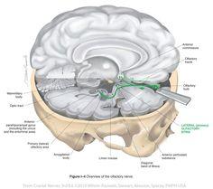 Olfactory I | Cranial Nerves