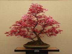 「bonsai maple forest」の画像検索結果