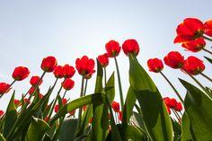 Rode tulpen in tegenlicht vanaf laag standpunt