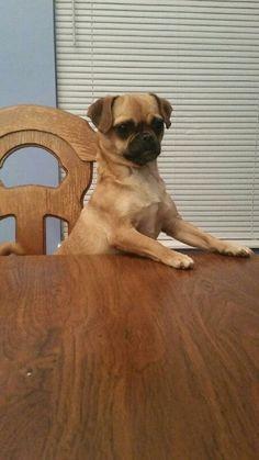 Our Chug Dog Bella