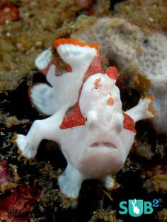 Clown Frogfish, the Clown of the Sea