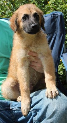 Bear is a 3-month-old male Shepherd mix.  He is brown with a black muzzle.  Bear's coat is medium in length, very soft, and he already weighs 14 pounds!  He is just a handsome young dog who has the most loving and affectionate nature!  Bear never...