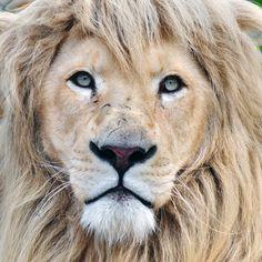 Close up portrait of a male white lion