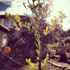 A little lemon hangs on to the tree planted by Dr. Clara Yu, Former President of the #MontereyInstitute. http://instagram.com/montereyinstitute