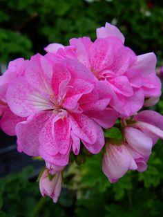 Geranium 'Double Pink Bird's Egg' Pelargonium