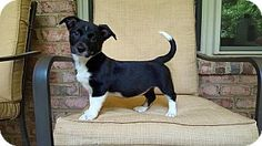 Harrisburg, NC - Corgi Mix. Meet Amelia, a puppy for adoption…