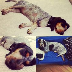 📰 Des nouvelles de MAÏA ALMA d'An Naoned 💚 💤 Femelle Basset bleu de Gascogne née le 01/12/16 (Houston d'An Naoned x Hamio d'An Naoned) 📷 Mr et Mme David  #basset #bbg #bassetbleudegascogne #dog #hund #cani #pet #doglove #bassetforlife #cute #bassetoftheday #dogmasternews