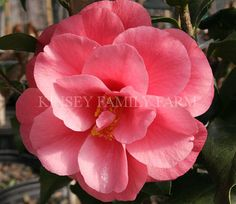 'Christmas Beauty' Camellia japonica. Red semi double. Kinsey Family Farm Gainesville, GA.