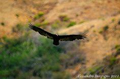 California condor (Gymnogyps californianus) – Condor della California – Big Sur - California - U.S.A- / by Alessandro Borgogno
