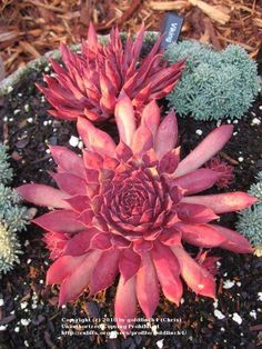 Photo of Hen and Chicks (Sempervivum 'Viking') uploaded by Succulent Gardening, Planting Succulents, Garden Plants, House Plants, Planting Flowers, Succulent Plants, Colorful Succulents, Growing Succulents, Succulents In Containers