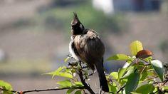 Himalayan Bulbul Bird