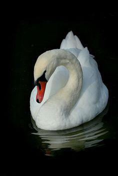 White swan on black Beautiful Swan, Beautiful Birds, Animals Beautiful, Swan Pictures, Bird Pictures, Animals And Pets, Cute Animals, Swan Painting, Mute Swan