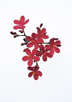 ✿ Chinoiserie (Jatropha Integerrima)