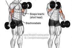 Dumbbell curl exercise illustration
