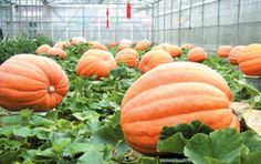 big max pumpkins    Pumpkin Seed Big Max