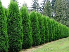 Midsize thujas (or similar) for privacy hedge