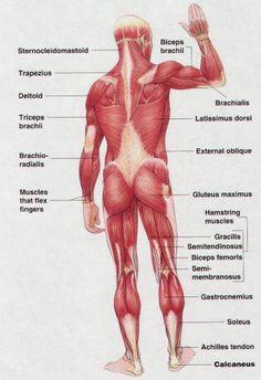 Muscle Anatomy Chart