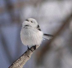 森の妖精?雪の妖精?とにかく爆きゅん、ふっくらかわいい鳥「シマエナガ」 : カラパイア