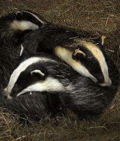 Badgers at home. David Cameron - Leave them alone and deal with the real causes of Bovine TB.