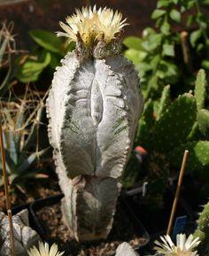 Astrophytum Myriostigma V Columnare.jpg 682×836 pixels
