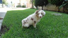 Kora, puppy 8 weeks