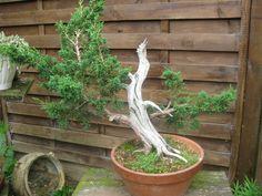 5 - Juniperus  (04/2008)
