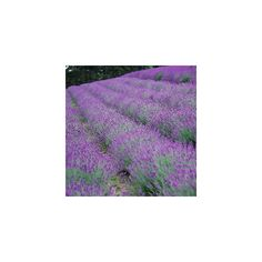 The Field of Gold A Lavender Patch follows the Lavender Border ❤ liked on Polyvore featuring backgrounds
