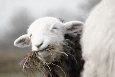 Country Living at the Farmhouse Sheep Farm, Sheep And Lamb, Farm Animals, Animals And Pets, Cute Animals, Beautiful Creatures, Animals Beautiful, Baa Baa Black Sheep, All Gods Creatures