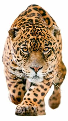 The third largest felid, Jaguar is an incredible animal. The most active and vital the big cats, they have great strength and agility. Jaguar is a versatile cat Jaguar Leopard, Jaguar Animal, Big Cats, Cats And Kittens, Cute Cats, Beautiful Cats, Animals Beautiful, Animals And Pets, Cute Animals