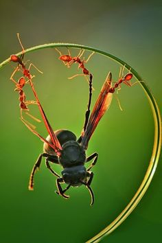 """awkwardsituationist: """" photos by uda dennie of eusocial ants in batam island, indonesia. (more posts on ants and other insects) """" Fotografia Macro, Animal Pictures, Cool Pictures, Cool Photos, Beautiful Pictures, Happy Photos, Random Pictures, Beautiful Bugs, Amazing Nature"""