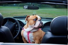 What do you mean get in the back seat ... I'm a front seat Diva!  #english #bulldog