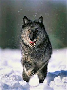 Black Wolf Running in Snow Wolf Photos, Wolf Pictures, Wolf Spirit, Spirit Animal, Beautiful Wolves, Animals Beautiful, Running In Snow, Malamute, Wolf Husky