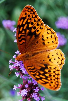 butterfly Great Spangled Fritillary
