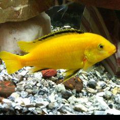 Adult male yellow lab Cichlid Aquarium, Cichlid Fish, Cichlids, 55 Gallon, Lab, Pets, Yellow, Labs, Labradors