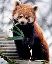 le petit panda, PANDA ROUX, panda fuligineux ou panda éclatant , est un mammifère originaire de l'Himalaya et de la Chine méridionale.Le Panda Roux est le seul représentant du genre Ailurus. Le petit panda est de la taille d'un grand chat : le corps et la queue mesurent de 50 à 65 cm, la queue mesure de 30 à 60 cm.