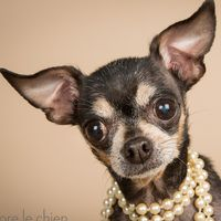 Cute Muttville mutt: Fiona 2244 & Ronnie (Chihuahua mix | Female | Size: toy (under 6 lbs))