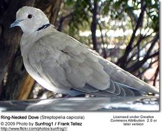 Half-collared Dove aka Ring-necked Dove or Cape Turtle Dove. I have one as a pet. It's 15 years old and still going strong.