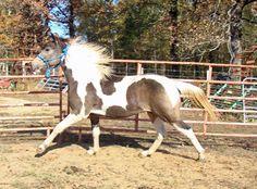 Tennessee Walking Horses - CLOUD 9 WALKERS (Tennessee Walking Horse Stud Colt)