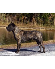 The Cane Corso is intelligent and easily trained. As a large and athletic breed, they need a lot of exercise. They are affectionate to their owner and bond closely with children and family. Cane Corsos are light shedders, which make grooming simple – all they need is an occasional brushing.