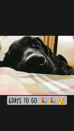 Yellow Lab Puppies, Black Labrador Dog, Labradoodle, Best Dogs, Labrador Retriever, Labrador Retrievers, Labrador, Labrador Retriever Dog