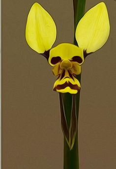 Donkey-orchid: Diuris – faqen time – Donkey-orchid: Diuris – … – Famous Last Words Strange Flowers, Unusual Flowers, Wonderful Flowers, Rare Flowers, Beautiful Flowers, Weird Plants, Unusual Plants, Exotic Plants, Orchids Online