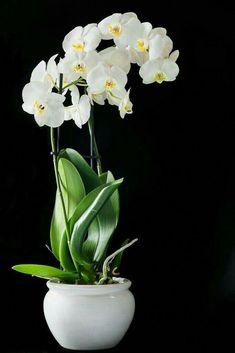 orchids by hausermann inc Orchid Flower Arrangements, Orchid Centerpieces, Flower Vases, Flower Pots, Orchid Terrarium, Vegetable Garden Tips, Artificial Orchids, Orchids Garden, Phalaenopsis Orchid