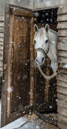 Horse peaking out of barn