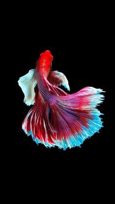 Fish Wallpaper, Images Wallpaper, Animal Wallpaper, Koi Betta, Betta Fish Tank, Betta Fish Types, Beautiful Sea Creatures, Cool Fish, Siamese Fighting Fish