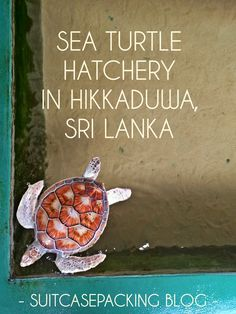 WHAT: A a family business conservation of sea turtles where the eggs are hatched and re-released in the sea after they are fed and lo. Turtle Hatchery, Turtle Conservation, Traveling Tips, Sea Turtles, Family Business, World Traveler, Travel Around The World, Aquatic Turtles, Turtle