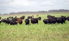 Por: Fernández Mayer, A.E1, Coria,M1 y Chiatellino,D2 INTRODUCCIÓN Durante la época estival, uno de los cultivos más utilizados en una amplia región de la Argentina, es el Sorgo híbrido forrajero tanto en los tambos como en los campos de cría y engor