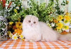 Rug Hugger Fold Teacup Persian Kitten www.dollfacepersiankittens.com