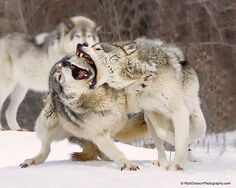 Timber Wolves Arguing... #Wildlife #Photography #Wolves   |  https://500px.com/photo/100620719/timber-wolves-by-rick-dobson